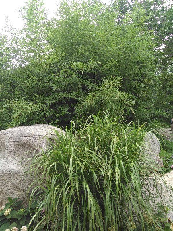北京~坚韧之竹