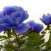 dandelion16,4 ——74,2